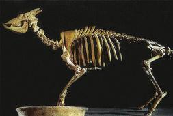 Recuperan parte del genoma de una extinta cabra de Baleares