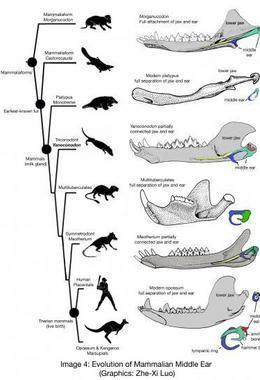 Descubren un nuevo mamífero que vivió hace 123 millones de años