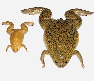 El genoma de la rana es casi tan complejo como el del ser humano