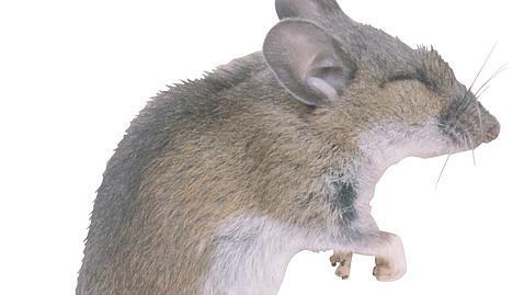 las lgrimas de los ratones son afrodisacas