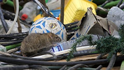 Buscan otra casa a ratas que ya han destrozado una for Ahuyentar ratas jardin