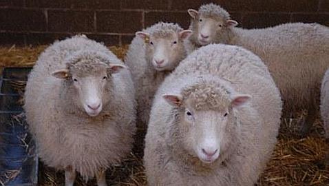 Clones de Dolly continúan envejeciendo