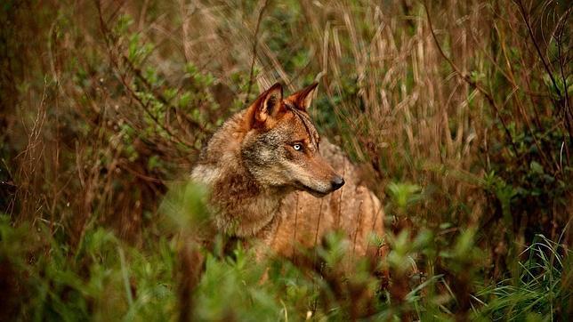 El lobo regresa a Cataluña procedente de Francia un siglo después de su extinción