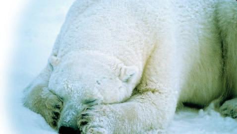 Putin prohíbe la caza de osos polares en Rusia