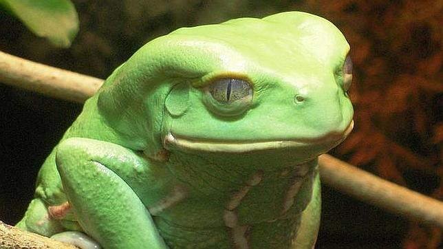 La piel de un tipo de rana, potencial tratamiento contra el cáncer