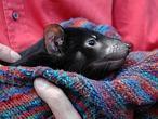 La genética puede combatir el cáncer facial que desfigura al demonio de Tasmania