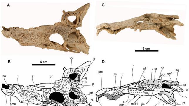 Hallan un fósil de cocodrilo a más de 700 metros de altura, en el Pirineo aragonés