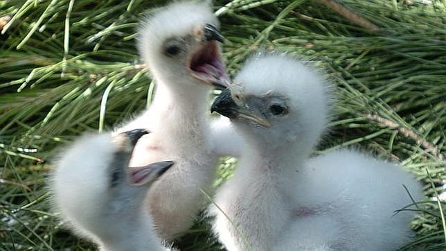 de polluelos