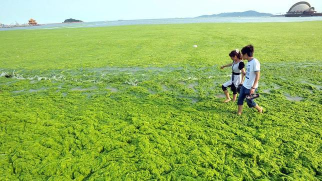 Una invasión de algas amenaza las costas chinas. Algas1--644x362