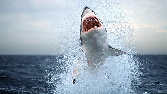 Un gran tiburón blanco salta a una embarcación en la costa de Sudáfrica