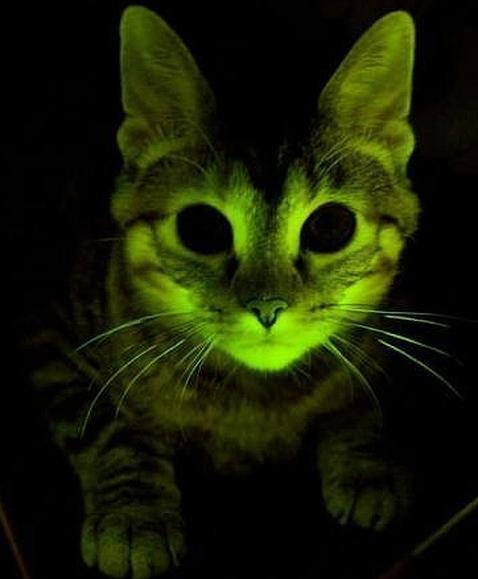 Gatos fluorescentes que resisten el sida