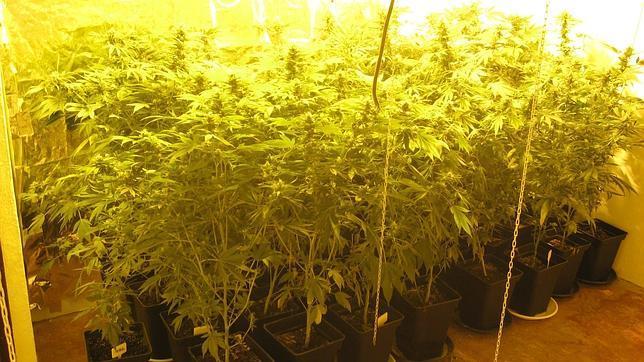 Un estudio revela que el cannabis causa «caos cognitivo» en el cerebro