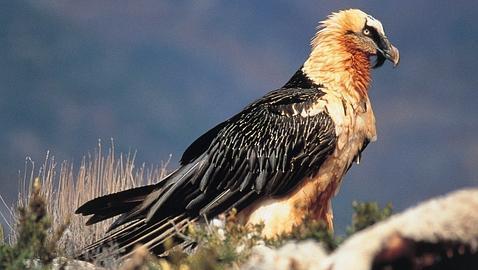 Resultado de imagen para aves carroñeros