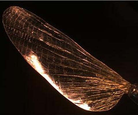 Crean un material fuerte como el aluminio  que imita la cutícula de los insectos