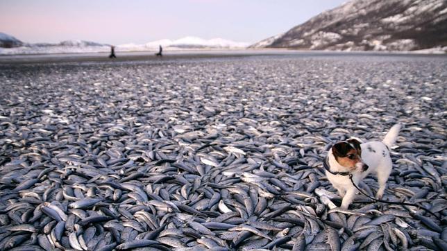 Miles de peces aparecen muertos en una playa de Noruega sin explicación