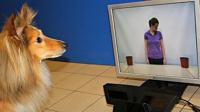 Los perros comprenden nuestras intenciones como los bebés