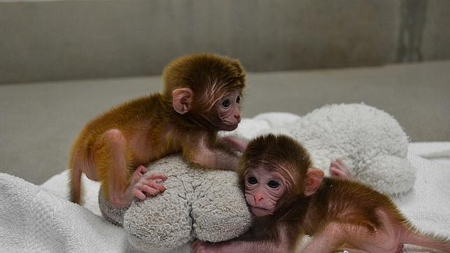 Nacen los primeros monos a partir de una mezcla embrionaria de seis primates