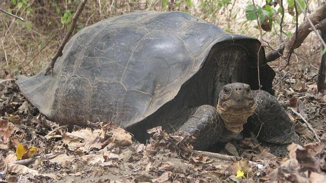 Una tortuga gigante extinta hace 150 años «resucita» en Galápagos