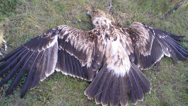 Las águilas imperiales envenenadas en Ciudad Real ingirieron un insecticida prohibido desde 2003