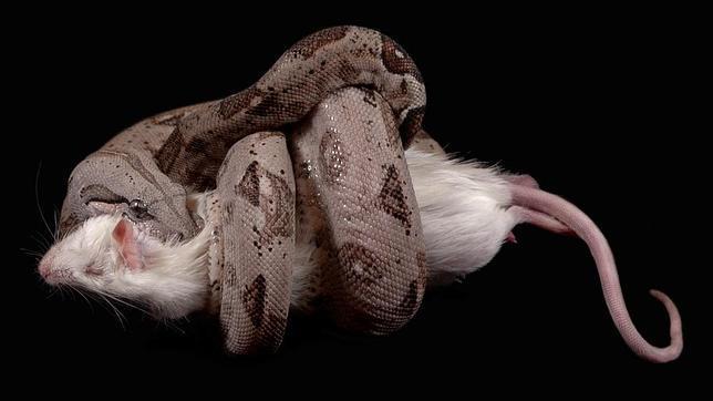 Así mata un boa constrictor Boa-constrictor--644x362