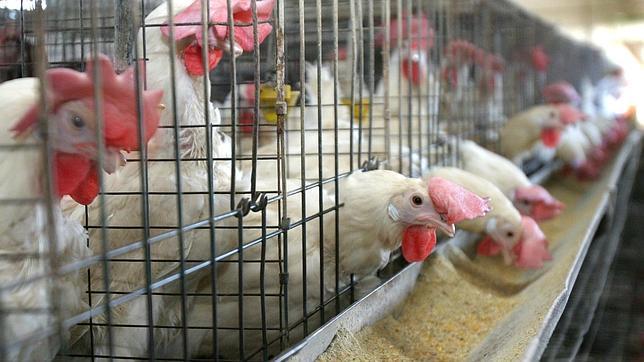 Las jaulas de las gallinas ponedoras en España incumplen