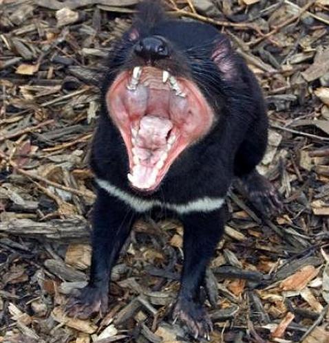 El terrible cáncer facial del demonio de Tasmania, provocado por una sola hembra