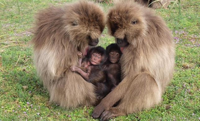 Monos que abortan (efecto Bruce)