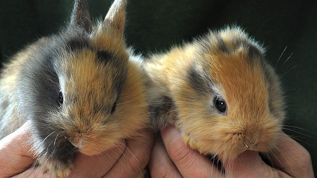 Un pisotón mata a Til, el conejo sin orejas que nació en un zoo de Alemania hace tres semanas