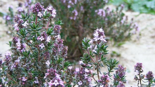 Tomillo, un potencial remedio natural contra el acné