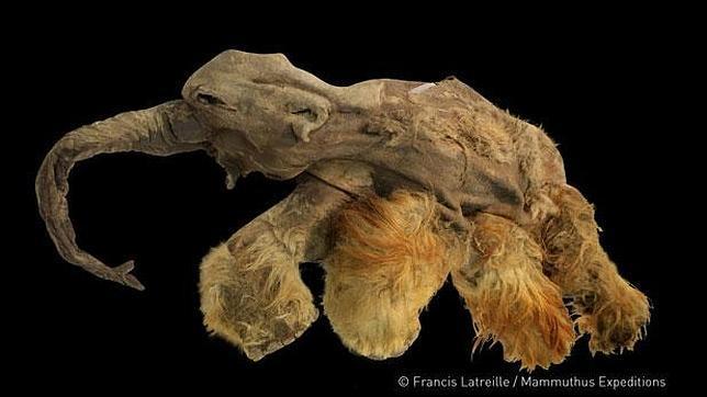 El mamut de pelo rojizo descuartizado por el hombre