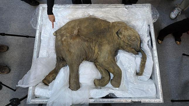 El bebé de mamut mejor conservado, de gira por Asia - ABC.es