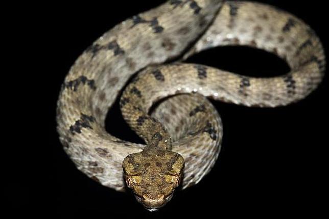 la víbora crotalina la serpiente de la mala suerte abc es