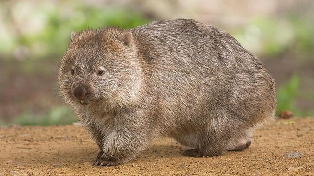 Los extraños wombats de Australia mueren de hambre