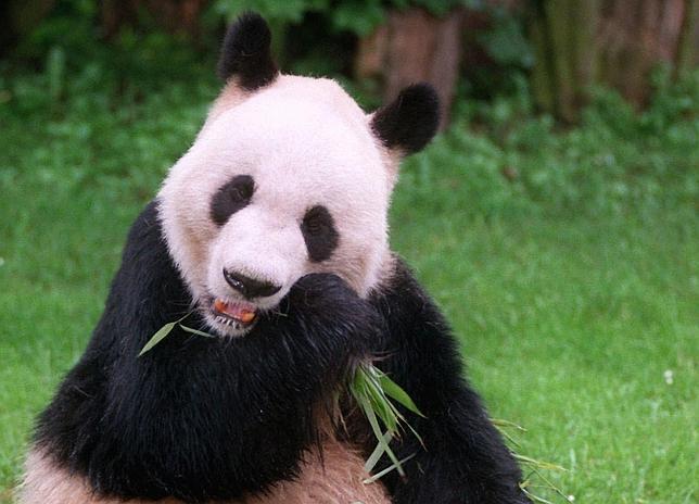 ¿Cómo Sobreviven Los Pandas Gigantes Comiendo Solo