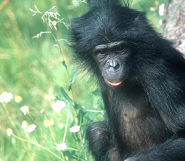Bonobo, el simio más promiscuo y parecido al hombre