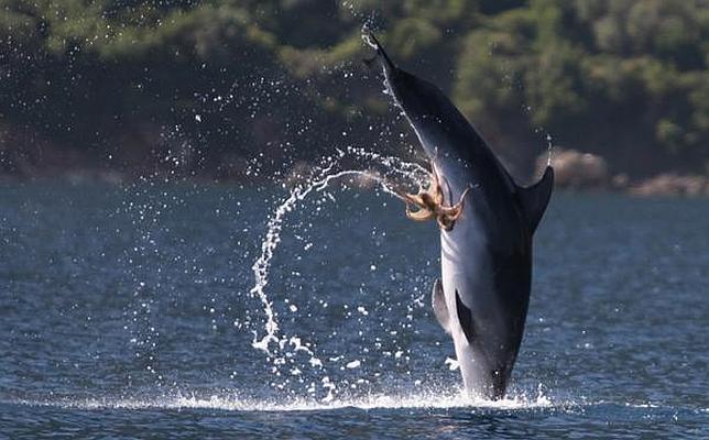 El pulpo «ataca genitales» Delfin-pulpo--644x400