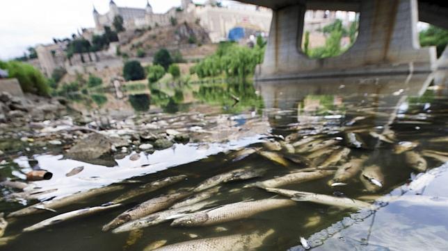 Aparecen Miles de peces muertos en el Tajo Peces--644x362