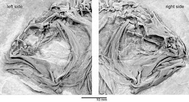 El misterio de los peces de cabeza plana