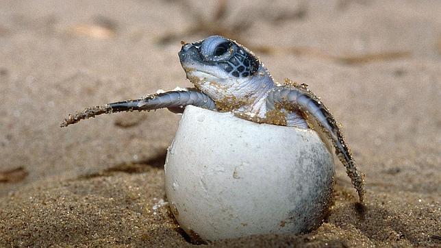 Huevos de Tortuga laúd son aplastados