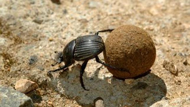 Escarabajos coprófagos, «una vida de mierda» imprescindible para la naturaleza