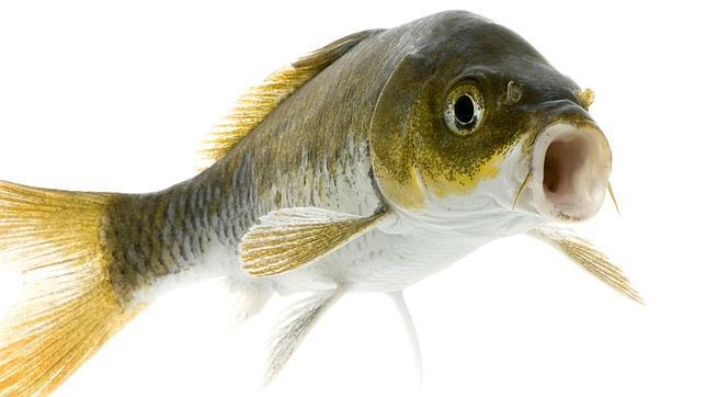Por qué los peces tienen orificios nasales si no se puede oler en el ...