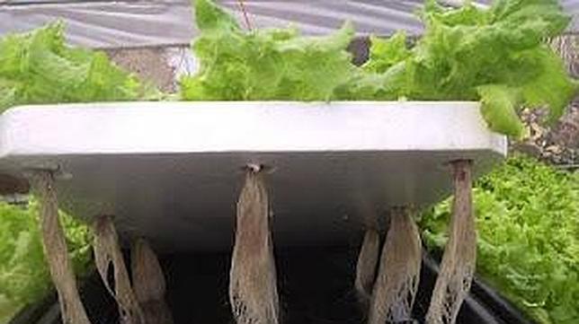 los aprenden el cultivo hidropnico para aumentar la produccin