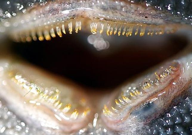 Siluro de dientes flexibles