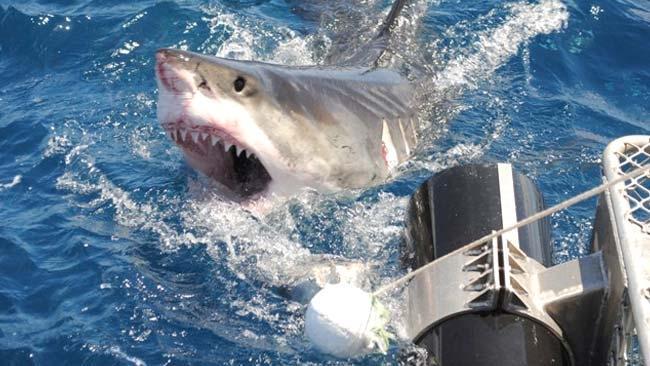 Un tiburón le salva a la vida a un náufrago