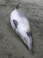 La ballena más rara del mundo, vista por primera vez