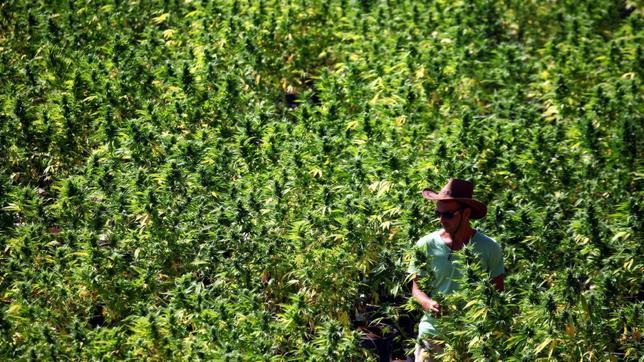 Cannabis sativa - Wikipedia, la enciclopedia libre