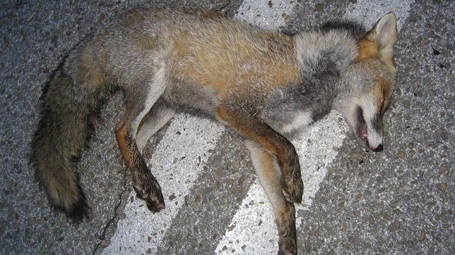Un ejemplar de zorro atropellado en una calzada de la Casa de Campo