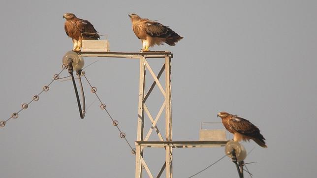 Resultado de imagen de aves tendidos electricos