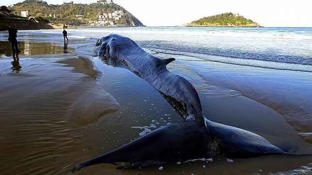 La ballena avistada en san sebasti n muere en la playa de - Clima en donostia san sebastian ...