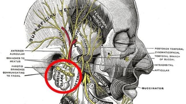 Cual es la glandula que produce saliva